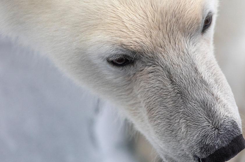 polar bear photography