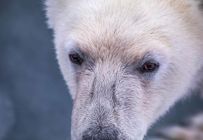 Polar bear on Svalbard. New book by Melissa Schäfer and Fredrik Granath.