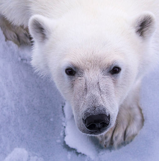 polar bear eisbär cruise spitzbergen