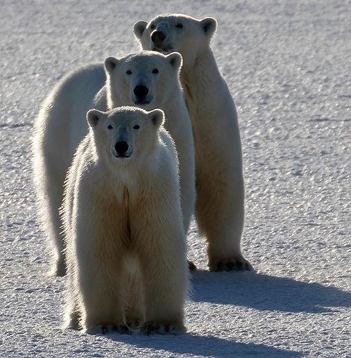 svalbard kinfish expedition eisbär polar bear cruise
