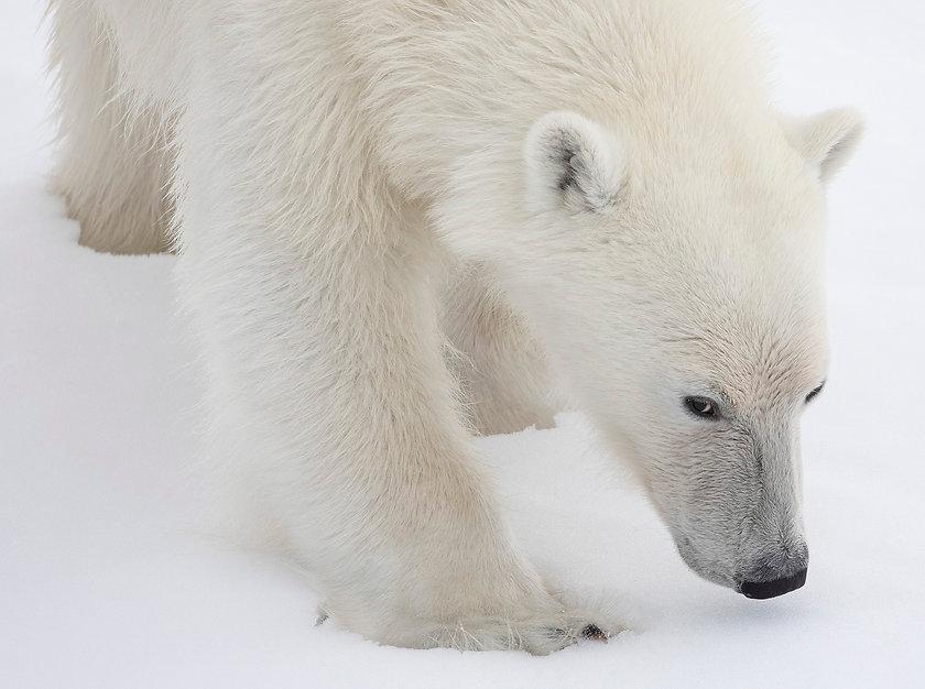 Polar bear Arctic Spitzbergen