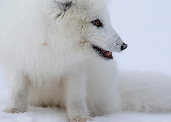 "Fine art print ""The Arctic Fox"""