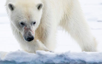polar bear photography trip cruise freya spitzbergen spitsbergen