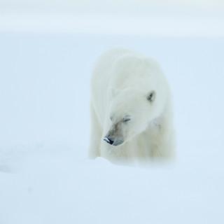 Arctic_MelFred_a_jun2018_008.jpg