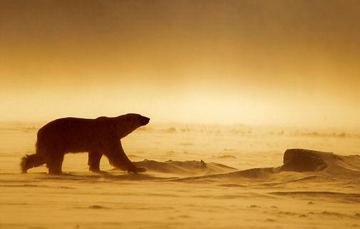 polar bear Spitsbergen expedition Svalbard Spitzbergen Arctic