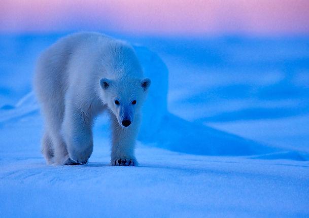 polarbear_djur_isbjörn_GroundZero_fg015