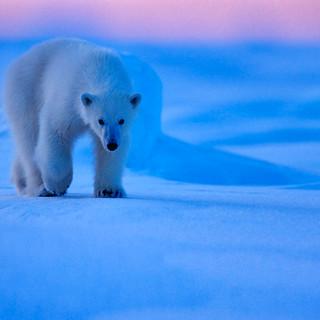Arctic_MelFred_a_jun2018_009.jpg