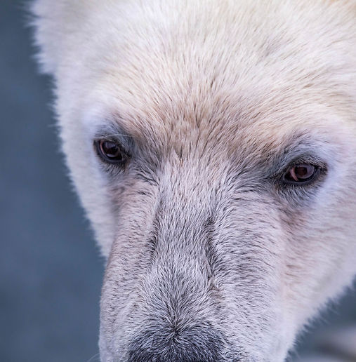 polar bear photography expedition arctic svalbard spitzbergen