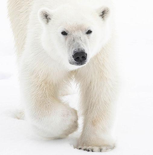 arctic svalbard spitzbergen polar bear photography cruise expedition
