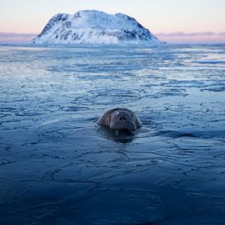 Arctic_MelFred_a_jun2018_003.jpg