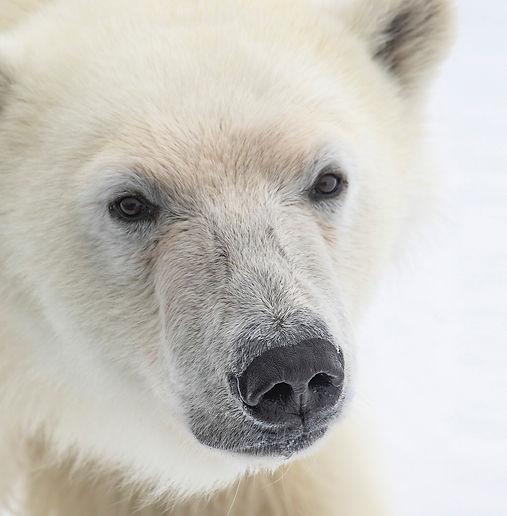 polar bear photography trip expedition