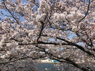 桜が満開だから