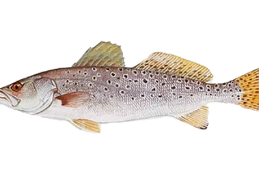 Trout_edited_edited.png