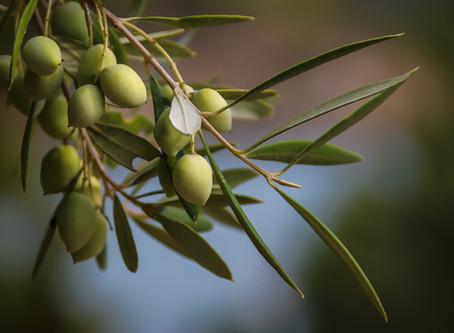 Die Olive (Olea sativa) - das Arcanum aus dem Süden