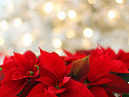 Der Zauber von Weihnachtsstern und Mistel