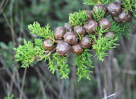 Antiseptische Heilkräuter - Zypresse