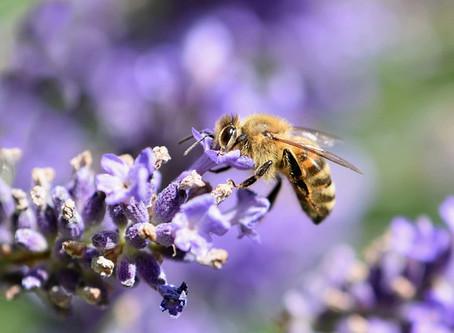 Antiseptische Heilkräuter - Lavendel