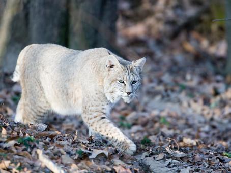 Missouri turkey hunter kills bobcat that attacked his head