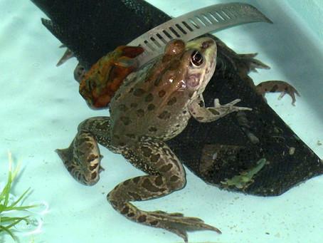 Rare Leopard Frog