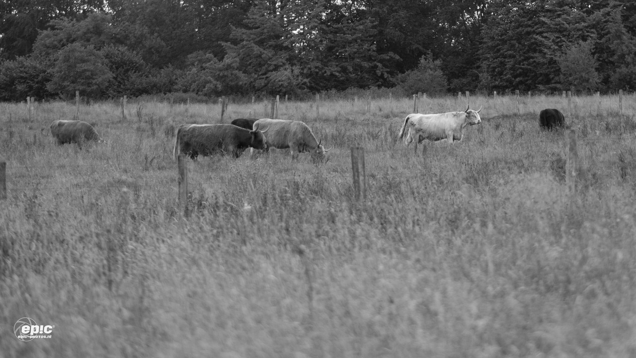 Reinhardstein: Cows in the meadows uphill
