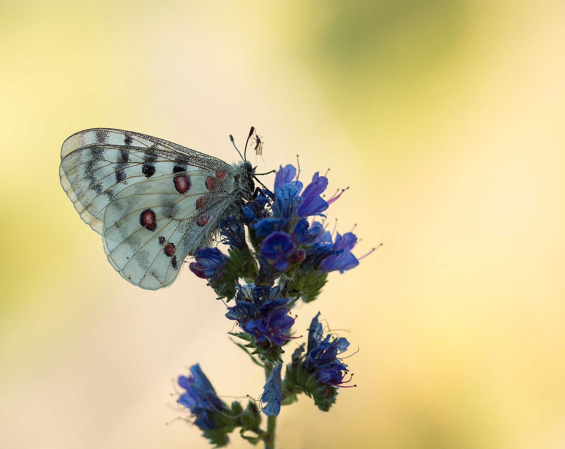 Schmetterling an Natternkopf