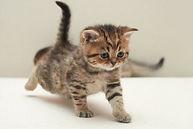 scotitsh kittens шотландские котята