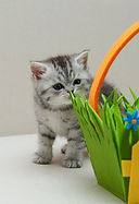 Scotish kittens Шотландские Котята