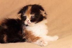 Scottish Kittens Шотландские Котята