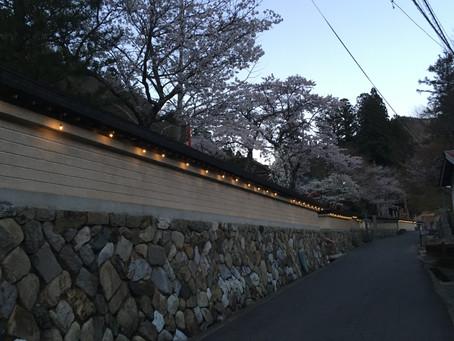 龍泉寺の桜 咲き始めぇ〜