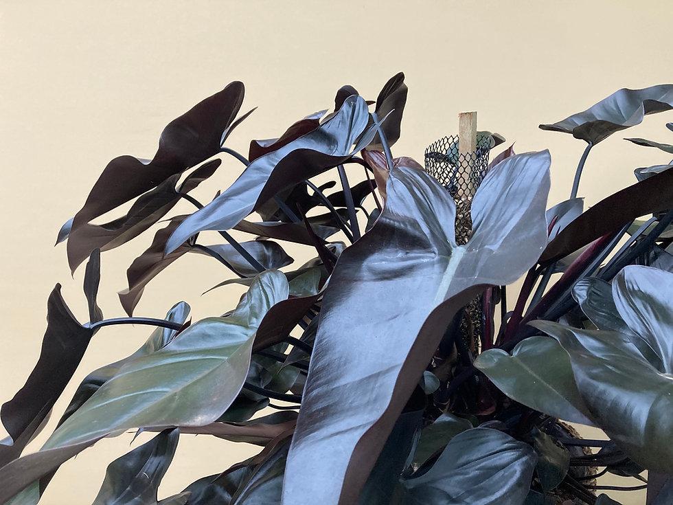 Philodendron rubro.jpg