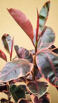 Ficus elastica ruby 16.jpeg