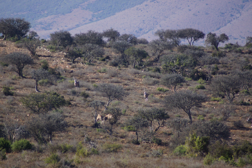 African Plains Game Species At Royal Karoo Hunting Safaris East Cape