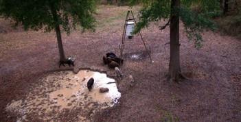 East Texas Free Range Affordable Hog Hunts