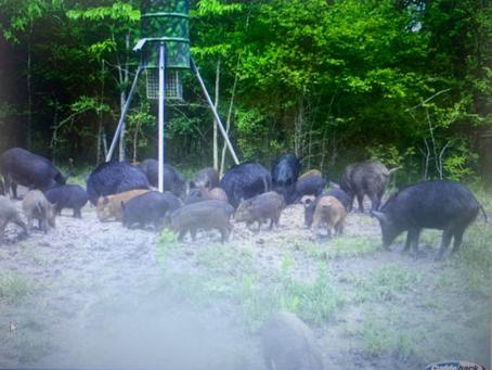 Plenty Of Free Range Texas Hogs Here