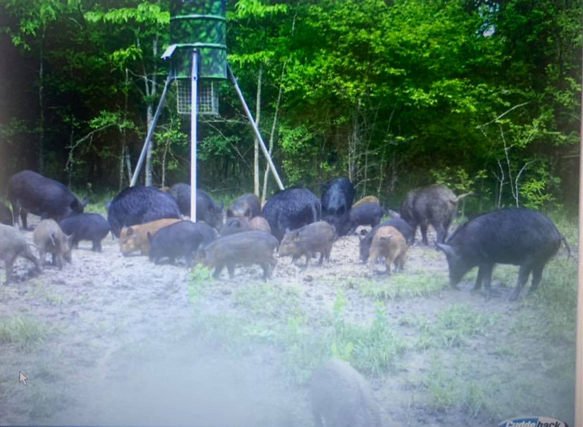 Texas Hog Hunting Outfitters Texas.png