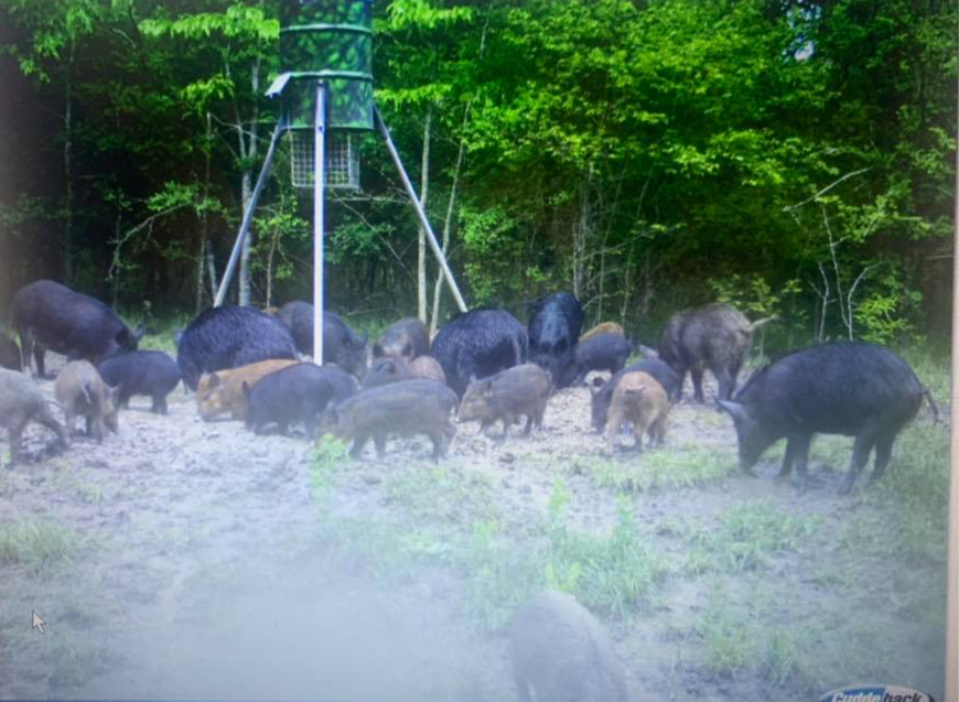 Dang! Put Yourself In The Picture - Texas Hog Hunting Outfitters Texas USA