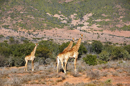 Eastern Cape Hunting Safaris South africa