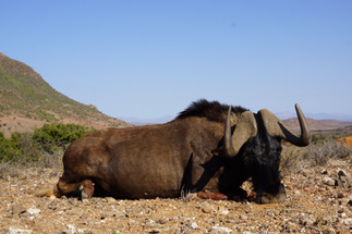 Black Wildebeest Plains Game South Africa Hunting Packages