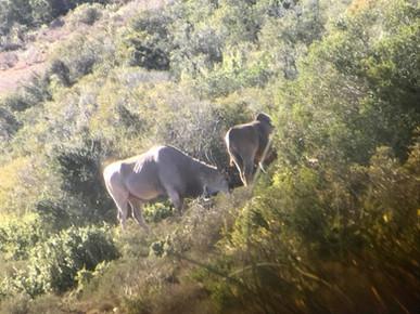 Eland Bulls East Cape South Africa
