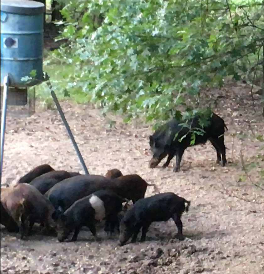 Texas Hog Hunting Outfitters For The Bestr Hog Hunting Experience.png