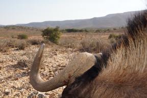 Black Wildebeest Take With Rifle At Royal Karoo Safaris East Care SA