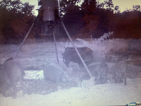 Texas Hog Hunting Outfitters Are Very Busy Hunting Hogs & Providing Meat To Hunters & Their Families