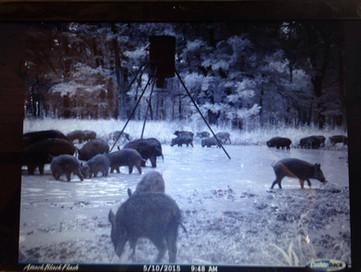 Wild Free Range Hogs Texas