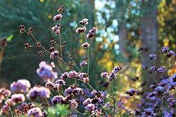 Eriogonum fasciculatum Wild Cascade.jpg