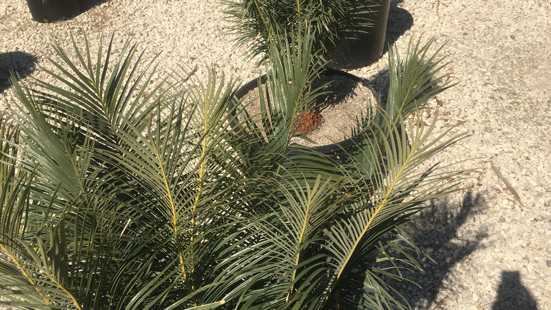 Cycas panzhihuaensis waiting for the right person to come and take it hopefully to a good spot..this plant is not forgiving and requires skilled hands.