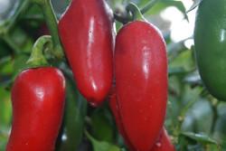 Garden Pepper