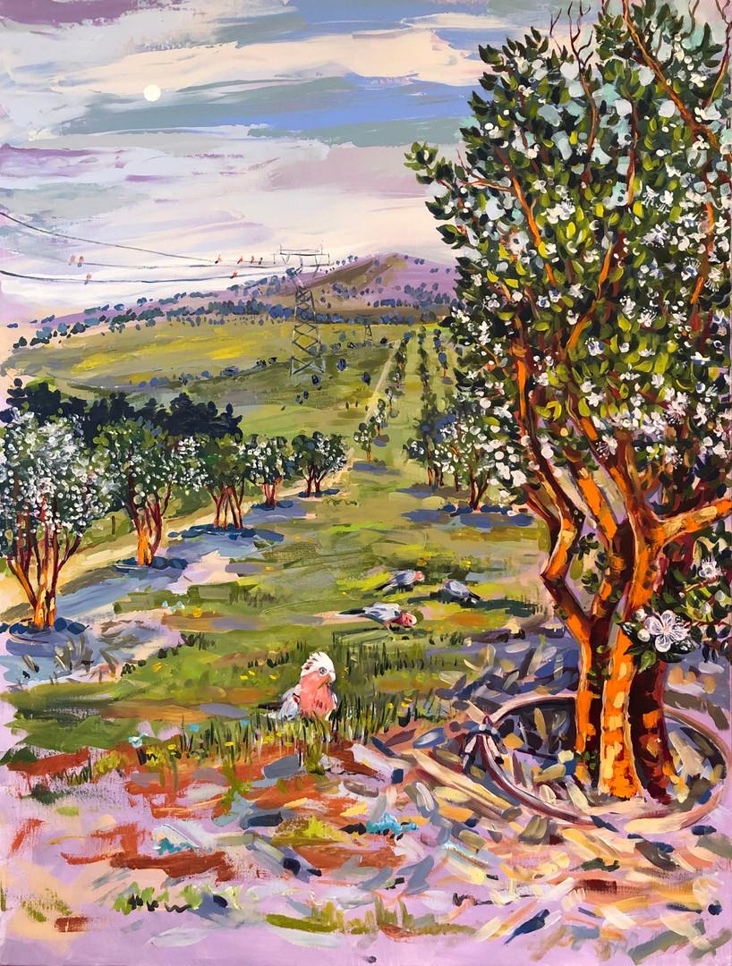 Forest 45 Chilean Myrtle, Autumn Blooms (Luma Apiculata)