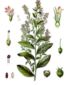 Lobelia & Recovery from Cigarette Smoking (Nicotine Addiction)