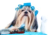 bigstock-Shih-tzu-dog-after-washing-Wi-1