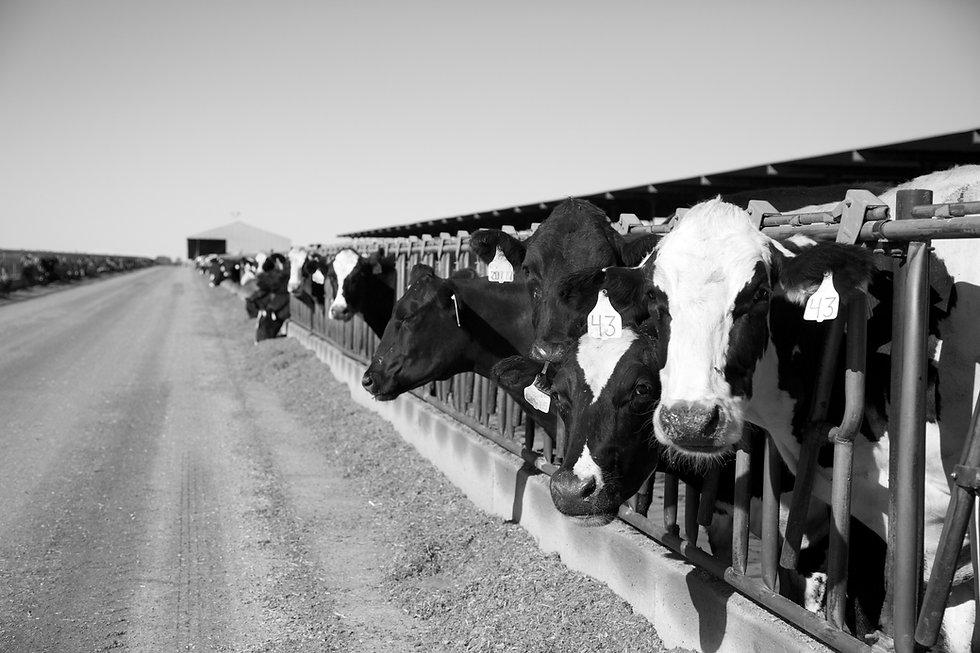 Bettencourt Dairy #1